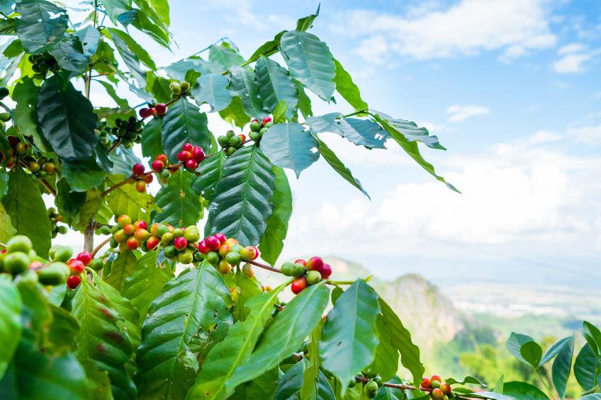 Az arabica kávéról bővebben