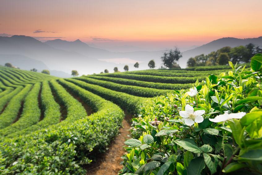 Amit a szálas teáról tudni érdemes